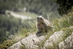 IMG_2410.jpg (blubberli) Tags: hannig sommerferien murmeli saastal mungga murmeltier schweiz wallis saasfee ch
