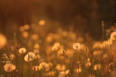 Non ci siamo ancora. (SimonaPolp) Tags: sunset tramonto dandelions soffioni bokeh canon july luglio summer estate sun sole light sanpietroinlucone hot caldo 20072016