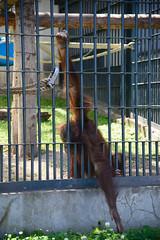 2016 北海道D6 4x6 3189 (chaochun777) Tags: 北海道 旭山 動物園 露營 自由行 猴子 長臂猿 猩猩 雲豹 花豹 老虎 獅子 北極熊 企鵝