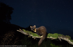 Pine Marten at Night (Alastair Marsh Photography) Tags: pine pinemarten pinemartens pinemartenkit pineforest pinemartenkits marten night nightphotography nighttime nocturnal nocturnalmammal nocturnalmammals wildlife wildlifeatnight wideanglewildlife cameratrap trailcamera britishwildlife britishanimals britishanimal britishmammals britishmammal mammal mammals animal animals scotland scottishwildlife scottishmammals scottishmammal scottishhighlands fur forest woodland woods wood