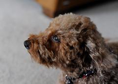 Lex (jeslu) Tags: lex miniature poodle d700 nikon 50mm f14
