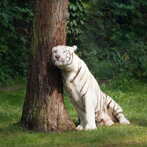 Cuddling white tiger