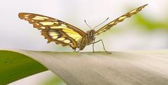 Ready...steady... (Glenn van Windt) Tags: siproetastelenes closeup macro lepidopterarhopalocera tropicalbutterfly butterfly vlinder insect butterflygarden vlindertuin sigma180mm128apomacrodghsm