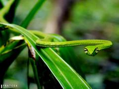 greenvinesnakee (prateekpanjigar) Tags: greensnake greenvinesnake snake nature animal outdoor nikoncoolpixl330 nikon