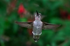 Hummingbird Heartbeat (Adam Wang) Tags: bird hummingbird flying wings nature wildlife