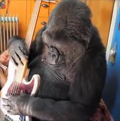 Koko3 (FolsomNatural) Tags: koko gorilla ukulele uke bassguitar flea