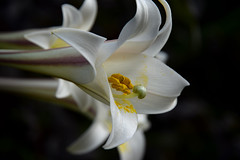 20160810_028_2 () Tags:   lily