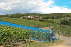 ckuchem-1427 (christine_kuchem) Tags: ahrtal anbau anbaugebiet eifel felsen rotweinwanderweg schiefer schieferfelsen sommer weinanbau weinberg weintraubenanbau weintrauben