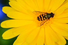 Flowers From Luss G (Donjovi2012) Tags: flowers hoverfly luss scotland