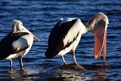 Excuse me (Luke6876) Tags: australianpelican pelican bird animal wildlife australianwildlife water