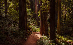 Redwoods National Park (TheDailyNathan) Tags: prairiecreek redwoodsstatepark redwoodsnationalpark redwood tree california