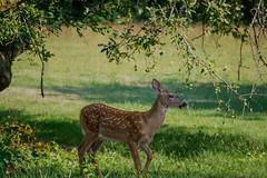 SpottedKid (jmishefske) Tags: d800e nikon whitetail halescorners wildlife wisconsin august fawn whitnall milwaukee park deer 2016