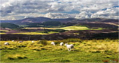 Ewe's View the Cairngorms (The Terry Eve Archive) Tags: terryevephotography deevalley cairngorms moor mountains hill heather sheep ewe shaun