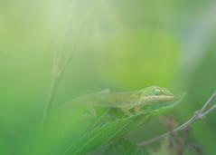 Slumbering Summer Babies (Charles Opper) Tags: canon summer anole baby bokeh color dreamy green light lizard macro nature reptile sleepy slumber warm wildlife