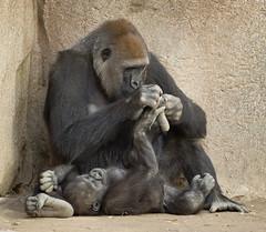 Imani and baby Joanne (ToddLahman) Tags: imani babyjoanne joanne escondido sandiegozoosafaripark safaripark lowlight closeup canon7dmkii canon canon100400 westernlowlandgorilla gorilla