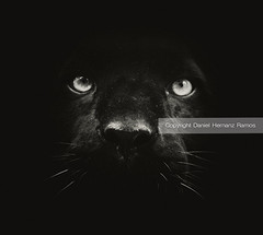 The black boss. BLACK PANTHER FACE (Daniel Hernanz Ramos) Tags: eyes panther hypnotic blackpanther panthereyes animalspictures animaleyecontact incredibleanimals jaguaranimal amazinganimalpictures animaldetailpictures animalsfacetoface aggressiveanimals