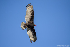 Vulture - 4385 (www.karltonhuberphotography.com) Tags: light wild bird nature flying bigbird wings wildlife tail flight illumination vultures ugly southerncalifornia soaring gliding overhead impressive scavenger turkeyvulture naturephotography birdinflight 2014 tailfeathers birdphotography wildlifephotography turkeyvulturecathartesaura nikond7000 sanjoaquinwildliferefuge karltonhuber