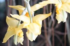 (ddsnet) Tags: travel plant orchid flower japan sony cybershot  nippon   nihon  backpackers      rx10  osakafu      flowerinjapan