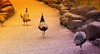 STEPPING ALONG (Rose Frankcombe) Tags: australia tasmania launceston peacocks firstbasin cataractgorgereserve steppingalong rosefrankcombe