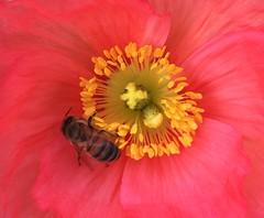 Poppy & Bee (hmxxyy) Tags: flower bee poppy