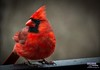 Posing for a portrait (The Suss-Man (Mike)) Tags: bird nature animal georgia dof cardinal bokeh gainesville malecardinal hallcounty thesussman sonyalphadslra550 sussmanimaging