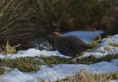 Grey Partridge. (jimbrownrosyth) Tags: