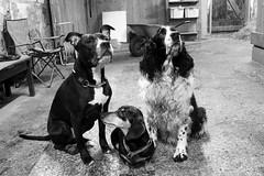 Three best friends (alindinlarsson) Tags: dog white black cute eye dogs nose eyes sweden stall ears hund ear sverige paws stable nos bestfriends vitt svart hundar öga vit bergslagen söta öron ögon öra tassar bästavänner
