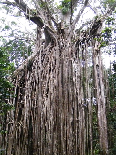 Curtain Fig Tree 02