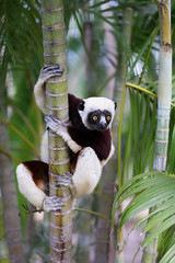 Coqueral Sifaka