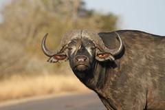 Syncerus caffer (Dindingwe) Tags: buffalo krugernationalpark capebuffalo kruger buffle knp synceruscaffer buffledafrique