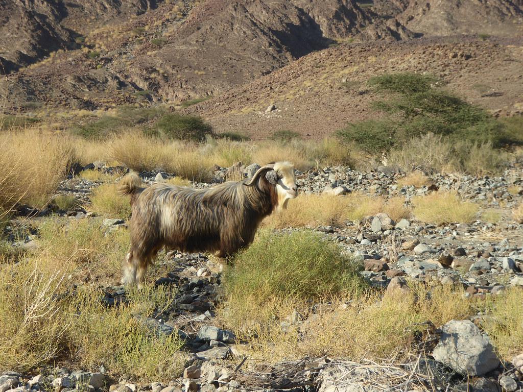 A magnificent Goat