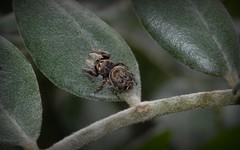 Simaetha tenuidens (dustaway) Tags: salticidae brownjumper brownjumpingspider australianspiders lismore nsw au arachnid spiders arthropoda arachnida araneae araneomorphae simaethatenuidens spinne