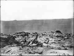 Pelicans at the Salton Sea, California, ca.1910 (CHS-4316)