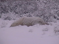 Polar Bear in the Snow 4