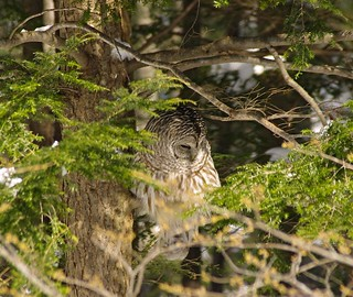 2015_0215Barred-Owl0002