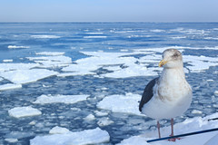 Seagull and drift ice /  (yanoks48) Tags: sea japan hokkaido    abashiri   driftice  seaofokhotsk