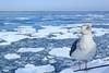 Seagull and drift ice / 流氷とカモメ (yanoks48) Tags: sea japan hokkaido 北海道 日本 海 abashiri 流氷 網走 driftice オホーツク海 seaofokhotsk