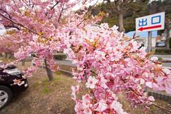 DS7_1461.jpg (d3_plus) Tags: street sea sky plant flower nature car rain japan drive spring scenery cloudy wideangle rainy  cherryblossom  sakura   shizuoka    touring  izu  kawasaki  superwideangle  kawazu         a05  kawazuzakura  1735mmf284 tamronspaf1735mmf284dildasphericalif tamronspaf1735mmf284dildaspherical d700  nikond700 tamronspaf1735mmf284dild tamronspaf1735mmf284 kawazucherryblossom tamronspaf1735mmf284dildasphericalifmodela05