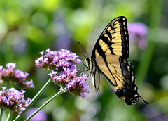 Bright Eyed (KsCattails) Tags: flowers summer black macro nature yellow butterfly purple bokeh tiger insects kansas backlit swallowtail verbena overlandparkarboretum