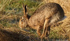 Hare on the run. (Sandra Standbridge.) Tags: hare running sandrastandbridge