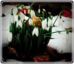 End of winter (Ioan BACIVAROV Photography) Tags: flowers winter flower art nature fleur beautiful fleurs wonderful interesting flora nikon dynamic artistic natura end colourful photoart flori floare nikond5100 ioanbacivarov bacivarov