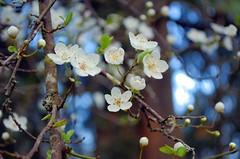 Apple Blossoms II - Nikon D70 with AF-S Nikkor 18-55 mm 1:3.5-5.6 G VR Zoom (Logos: The Art of Photography) Tags: nikond70 afsnikkor1855mm13556gvrzoom flower