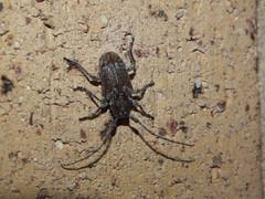 Cerambycidae Lamiinae>Dihammus? Sheep Longicorn Beetle DSCF7385 (Bill & Mark Bell) Tags: exmouth westernaustralia australia geo:town=exmouth geo:state=westernaustralia geo:country=australia geo:lon=11425453egeolat2217752sgeoalt8m 11425453e2217752salt8m taxonomy:kingdom=animalia animalia taxonomy:phylum=arthropoda arthropoda taxonomy:class=insecta insecta taxonomy:order=coleoptera coleoptera taxonomy:family=cerambycidae cerambycidae taxonomy:subfamily=lamiinae lamiinae taxonomy:genus=dihammus dihammus taxonomycommonnameflatfacedsheeplongicornbeetle flatfacedsheeplongicornbeetle animal fauna beetle