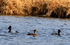 ring-necked ducks at Cardinal Marsh IA 854A4148 (lreis_naturalist) Tags: county cardinal ducks reis iowa larry marsh ringnecked winneshiek