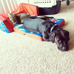 Cat steals dog bed. (msknoogle) Tags: cats dogs animals funny sad thief pouting sadface jowls funnypets funnycats funnyanimals catburglar rescues poutyface funnydogs rescuepets bedthief catstealsdogbed
