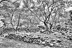 Village ruin de Cazeneuve (sergecos) Tags: noiretblanc blackandwhite nature arbre tree pierre stone mur ruine ruin vieux old pyrnesorientales olivier nikon d7000
