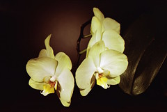 Orchids (Nicolas) Tags: busch pressman camera collection 4x5 flower fleur orchid orchide dark sombre light lumire shadow nicolasthomas yvelines france c41 largeformat analog viewcamera kodak portra 160iso film interfit ace 100 studio lighting spot