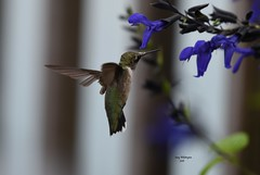 Hummingbird in Flowers_0489 (Porch Dog) Tags: 2016 garywhittington kentucky nikond750 nikon200500mm nature stewartfarmsdaylillies hummingbird blooms blossom wildlife feathers