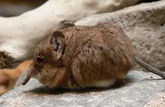 Zoo Ffm Kurzohr-Rüsselspringer (Macroscelides proboscideus) P1010556 (martinfritzlar) Tags: zoo frankfurt tier säugetier rüsselspringer kurzohrrüsselspringer macroscelidea macroscelides proboscideus roundeared elephant shrew