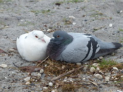 Love is... (teressa92) Tags: birds beach feathers teressa92 pidgeons two sand